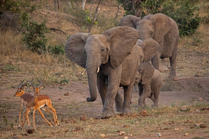 Young elephant in musth chasing down impala