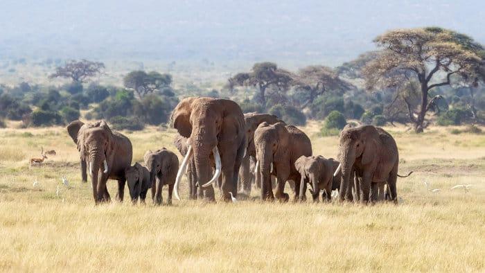 Herd of elephants on the plains of Amboseli