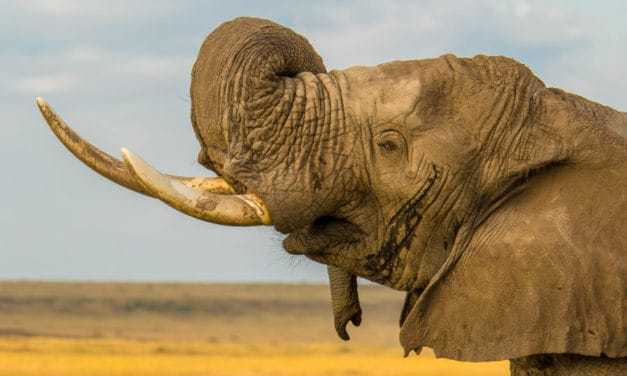 What happens to elephants in musth?