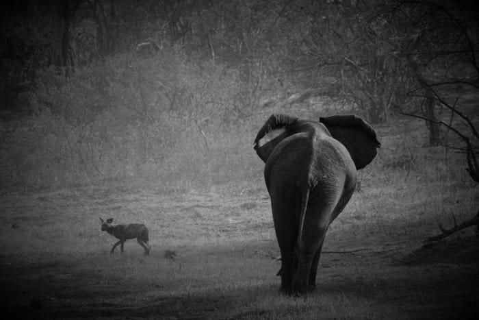 Elephant chasing wild dog in Etosha National Park, Namibia