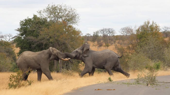 Two elephant bulls in musth engage in a tough fight for dominance
