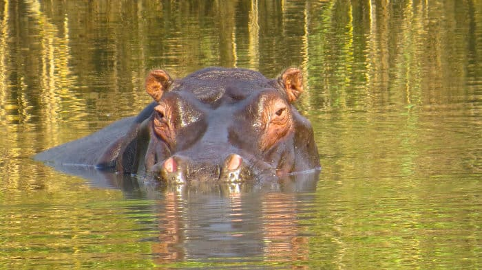 Lone hippo in Kasanka National Park, Zambia