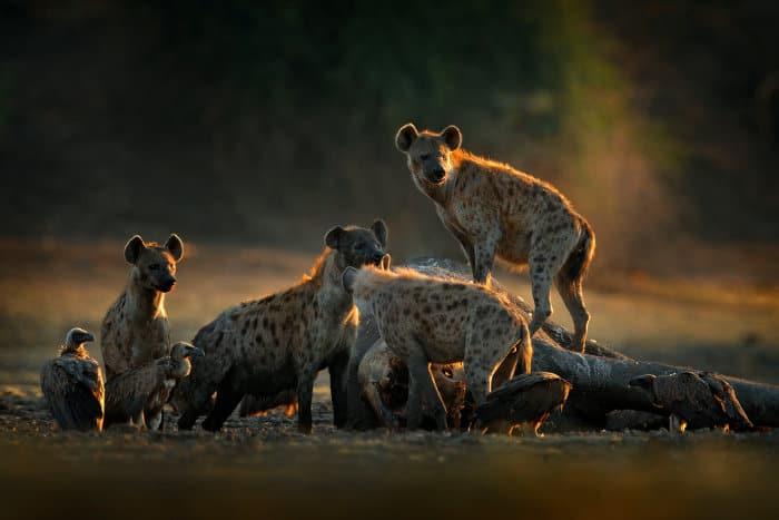 Hyenas feeding off an elephant carcass