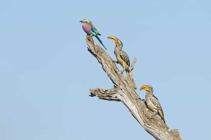 Lilac-breasted roller and two yellow-billed hornbills perched on a dead trunk
