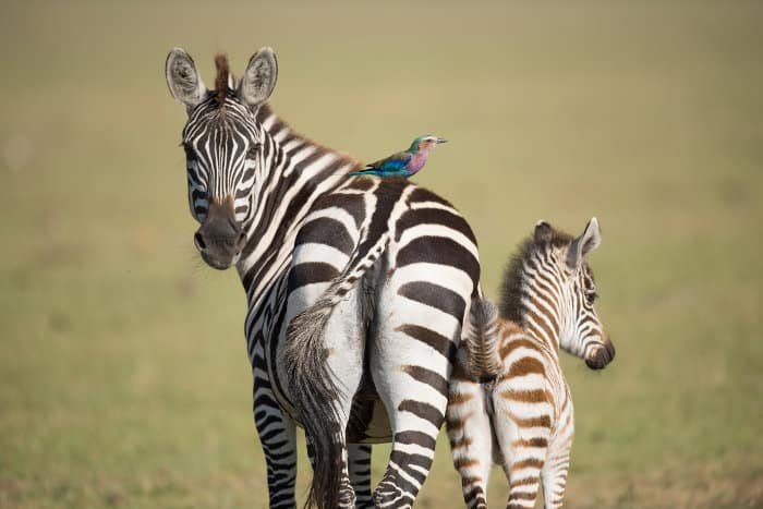 Baby zebra and his mom, with lilac-breasted roller on its back