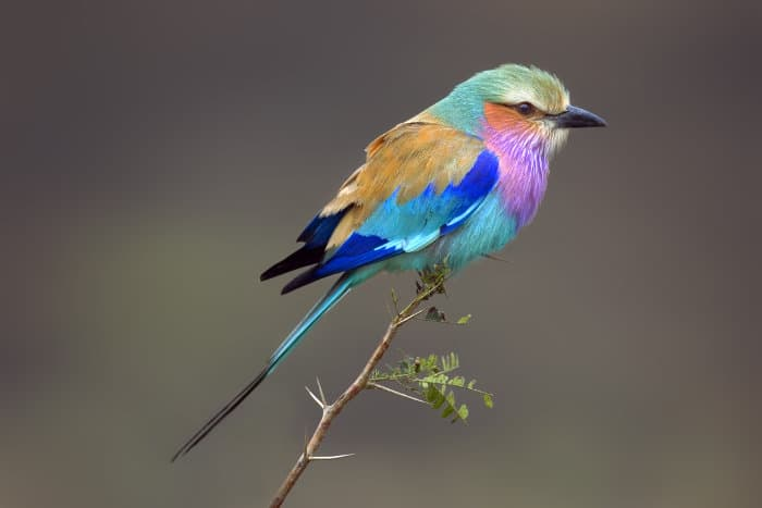 Lilac-breasted roller in total splendour