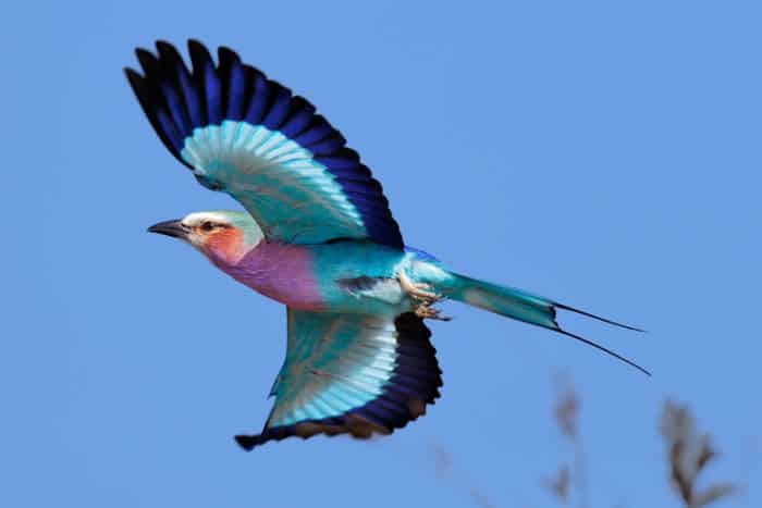 Lilac-breasted roller in flight, displaying its beautiful palette of colours