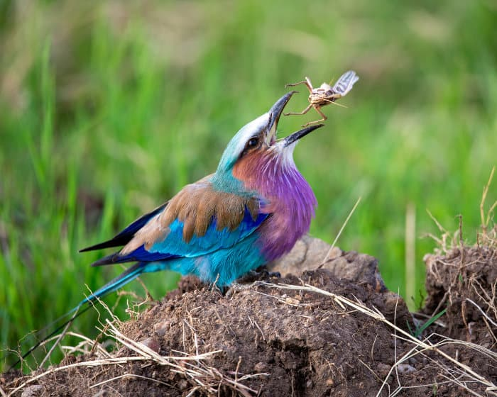 A lilac-breasted roller swallows a grasshopper