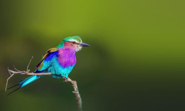 17 fun lilac-breasted roller facts: Africa's multicolored bird