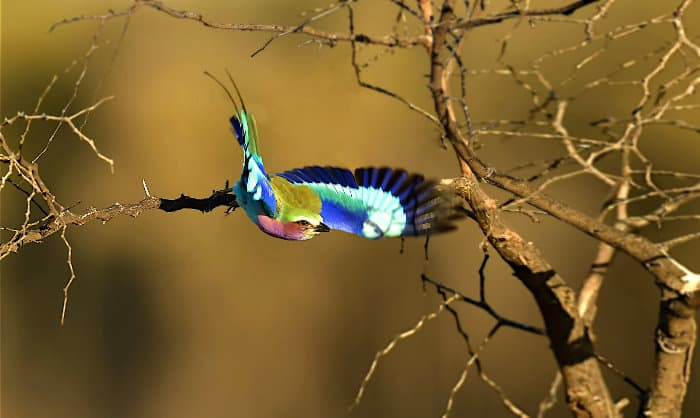 A lilac-breasted roller takes-off, spreading its colourful wings