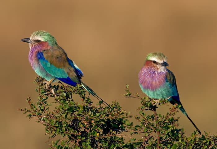 A pair of lilac-breasted rollers in the Masai Mara, Kenya