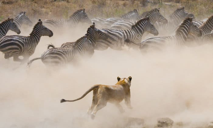 Lioness running after zebra in cloud of dust