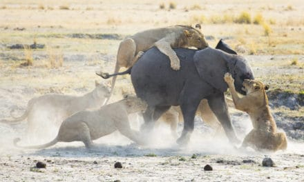 Are there any natural African elephant predators?