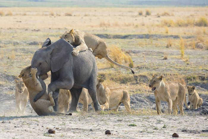 Pride of lions takes on young elephant