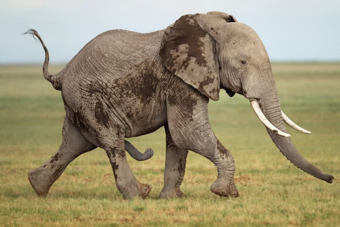 A sexually-aroused elephant, probably in musth, goes after a female
