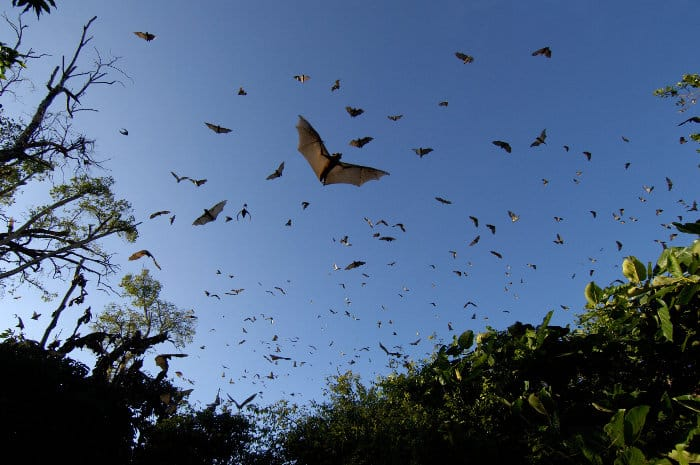 Straw-coloured fruit bats pictured from ground level, Kasanka National Park, Zambia
