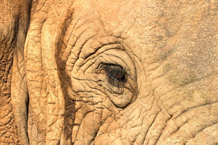 Bull elephant in musth, with a trickle of temporin down the side of the face