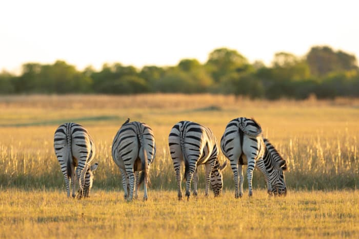 Four zebra bums, feeding on short grass in Moremi Game Reserve