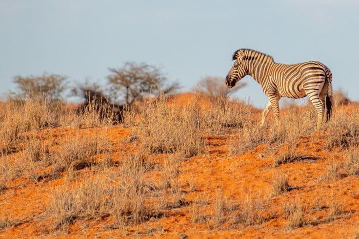 Lone zebra in desert landscape, Namibia