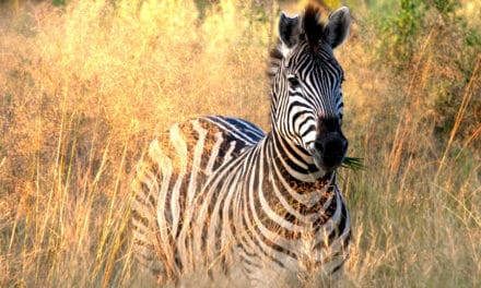 What do zebras eat? Wild grass & hay, or nay?