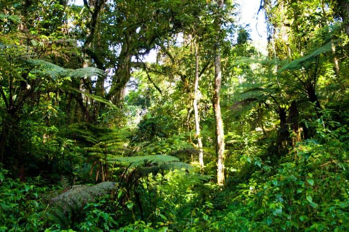 Typical African rainforest vegetation in Bwindi Impenetrable Forest, Uganda