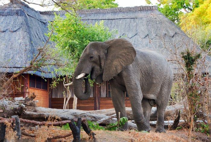 A large male elephants walks around Kafunta River Lodge, looking for ripe mangoes