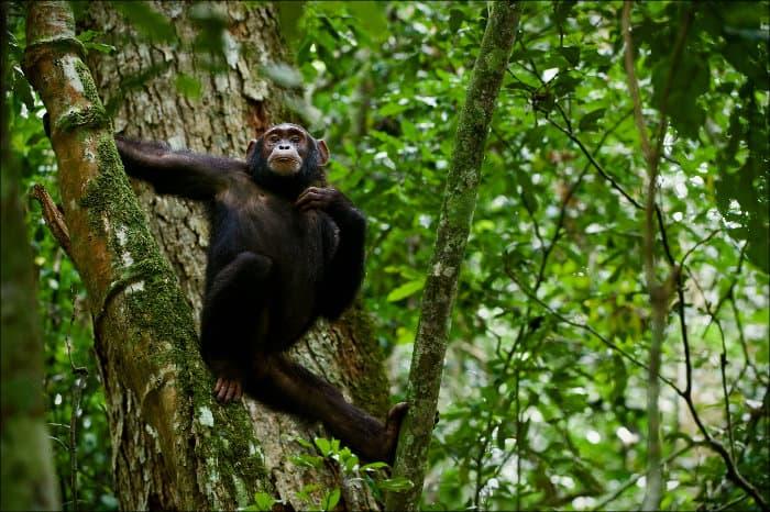Chimpanzee chilling on a tree