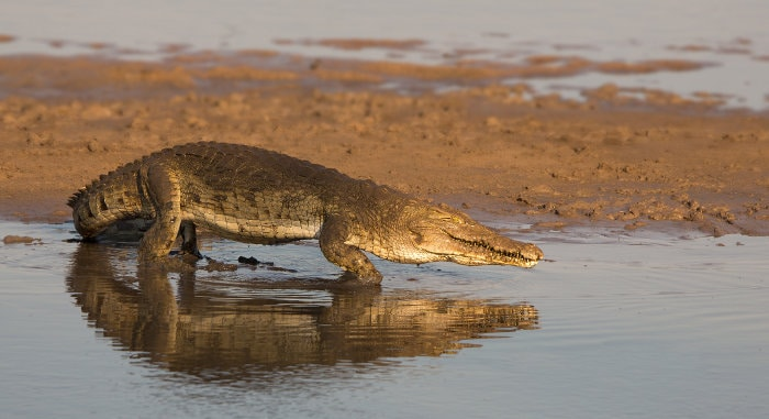 Lone Nile crocodile on the banks of the Luangwa River