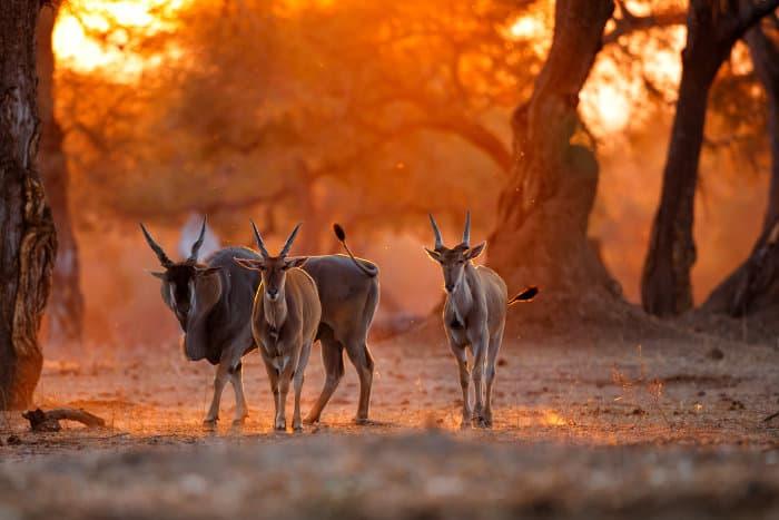 Herd of common eland at sunset, Mana Pools, Zimbabwe