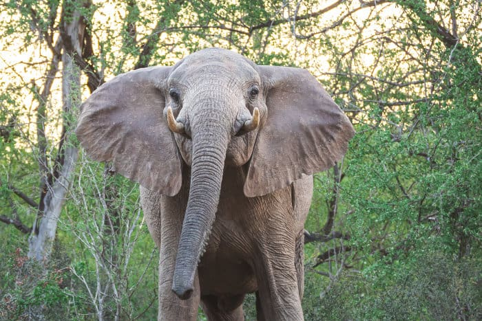 Female elephant mock charging, a warning sign to back off before things escalate