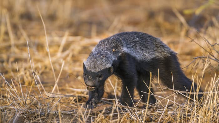 Honey badger going about his daily business in the Kruger