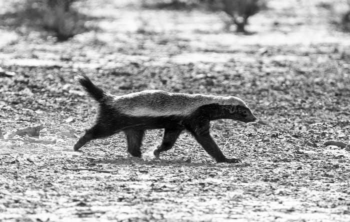 Honey badger walking, in black and white