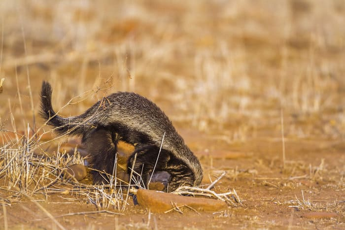 Honey badgers have large claws for digging prey out of burrows