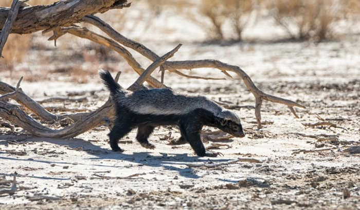 Lone honey badger on a mission