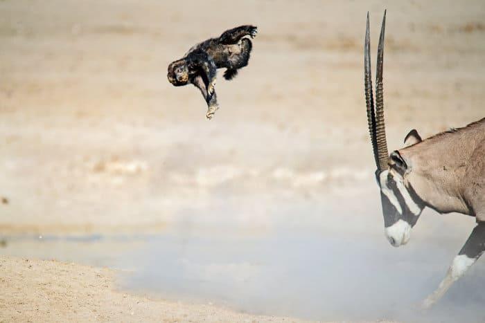 Honey badger vs oryx fight - honey badger gets tossed around