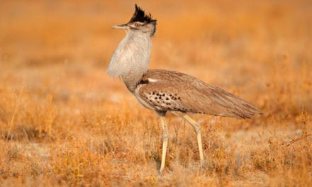 Kori bustard – 12 fun facts about Africa's heaviest flying bird