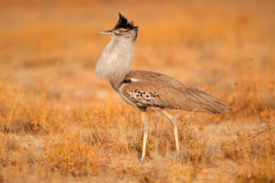 Kori bustard – 12 fun facts about Africa's heaviest flying bird