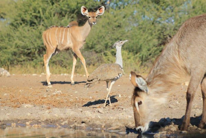 Kori bustard making friends with a young kudu and a waterbuck