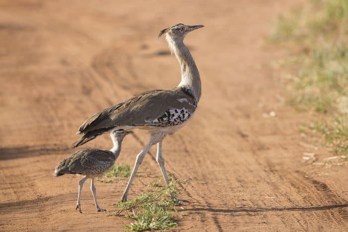 A female kori bustard and her chick cross the road in Tarangire National Park, Tanzania