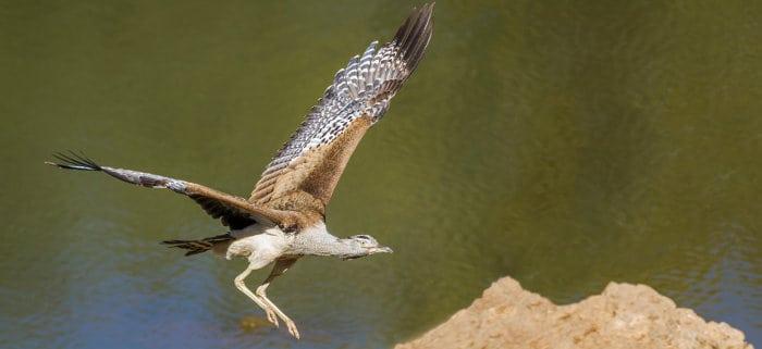 Kori bustard in flight, revealing its large wingspan