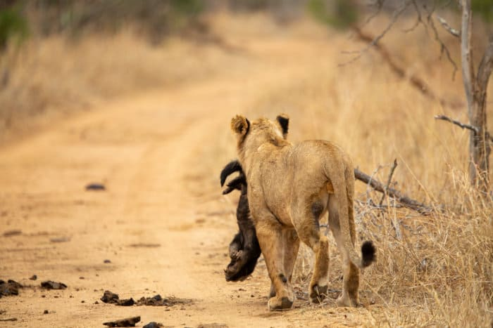 Young male lion carries a dead honey badger killed by the pride