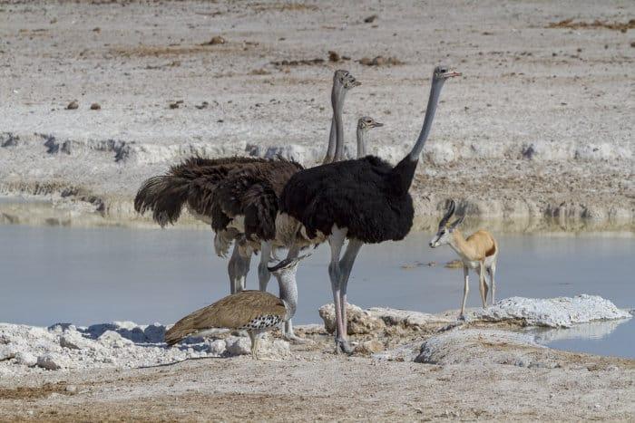 Three ostriches, springbok and kori bustard at a local waterhole in Etosha