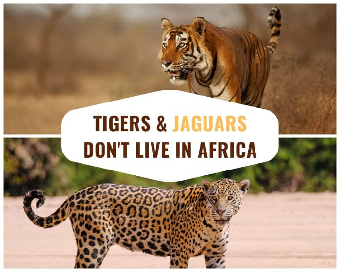 Despite certain beliefs, tigers and jaguars are not native to Africa