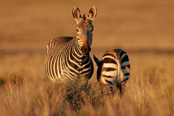 Endangered mountain zebra with her young, Mountain Zebra National Park, South Africa