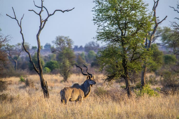 Male kudu in the Great Limpopo Transfrontier National Park