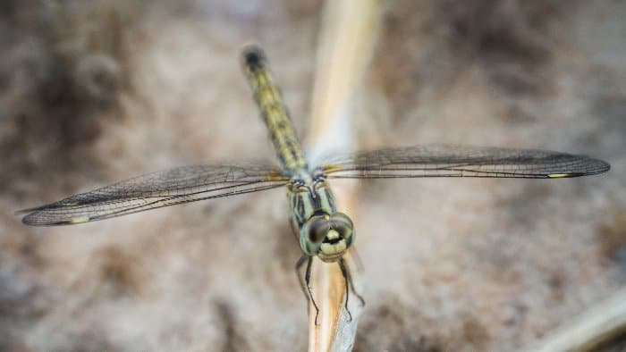Dragonfly close-up shot in Lengwe National Park, Malawi