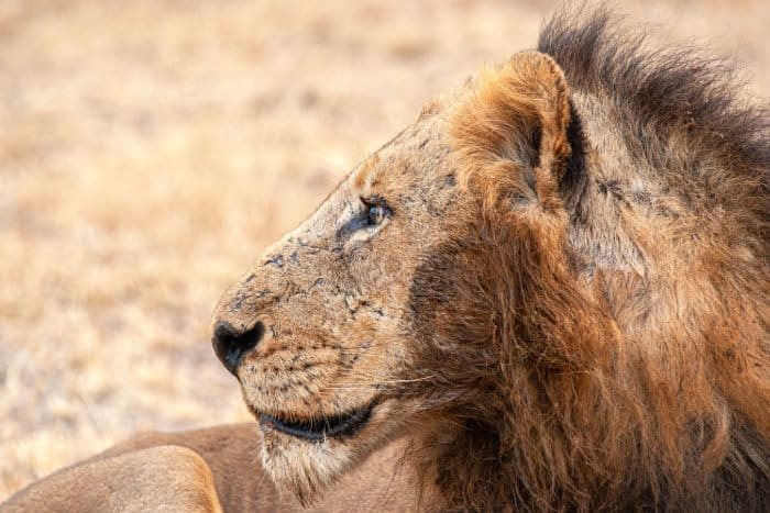 Mr T from the Mapogo lions, with his distinctive mohawk mane