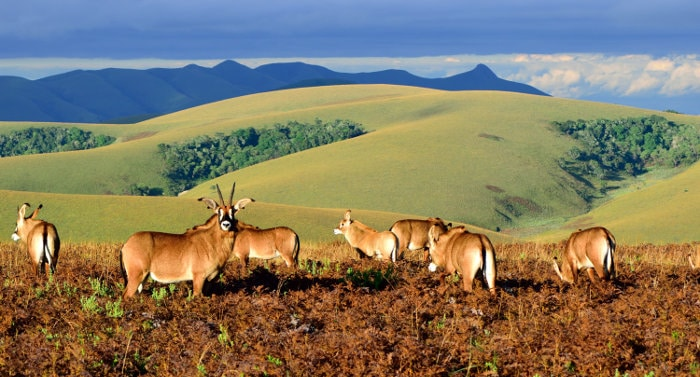 Herd of roan antelope on the high-altitude plateau of Nyika National Park in Malawi