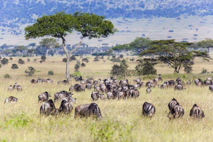 Herd of wildebeest during the migration, Serengeti