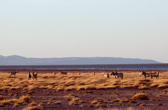 Mixed herd of zebra and topi in Sibiloi National Park, with Lake Turkana in the background